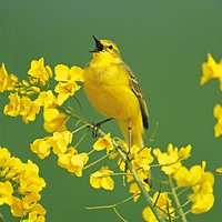 Woodmansterne Yellow Wagtail Greeting Card